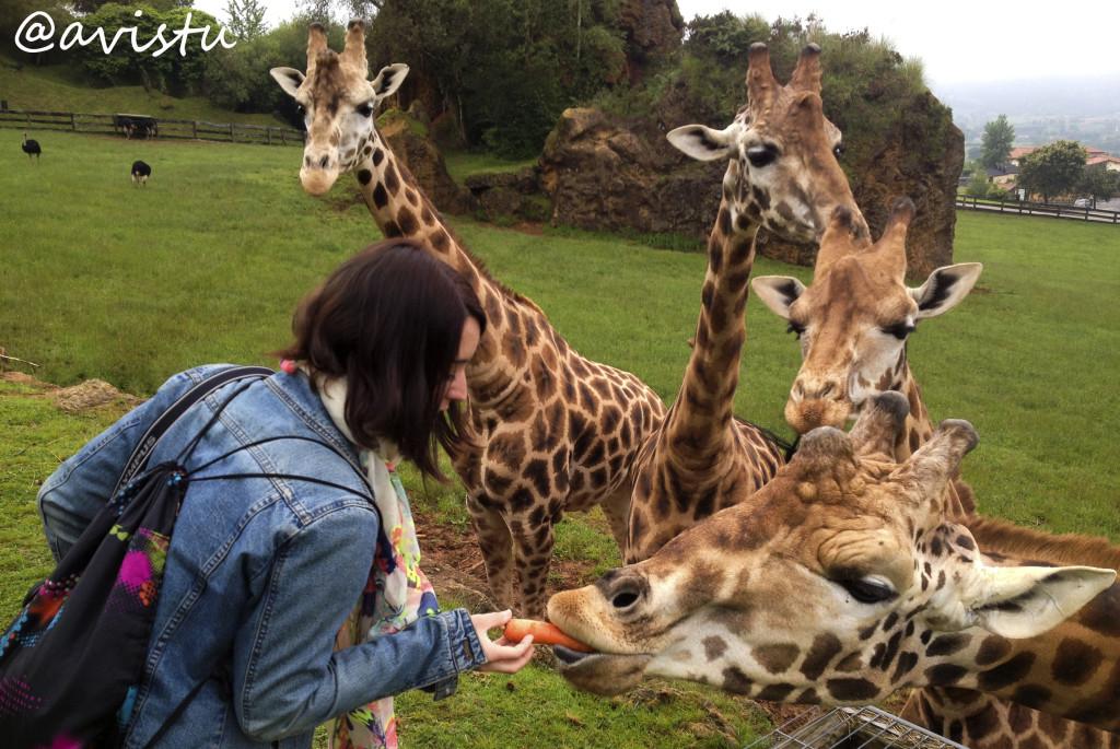 Dando de comer a las jirafas. Visita Salvaje. Cabérceno (Cantabria). Foto por @Avistu
