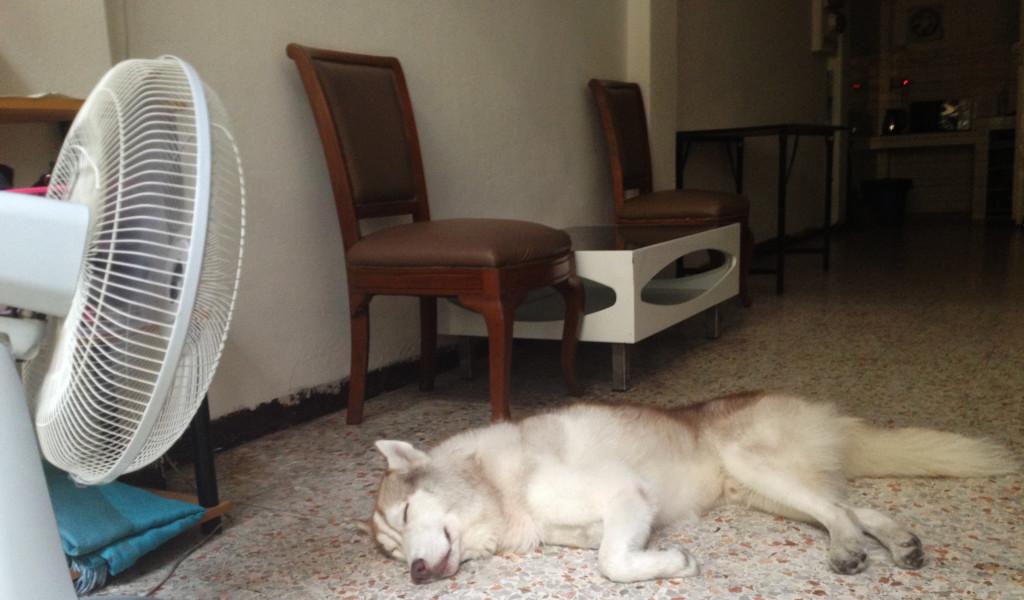 Hisky siberaniano torrao. Lumphini Home Stay. Bangkok. Tailandia