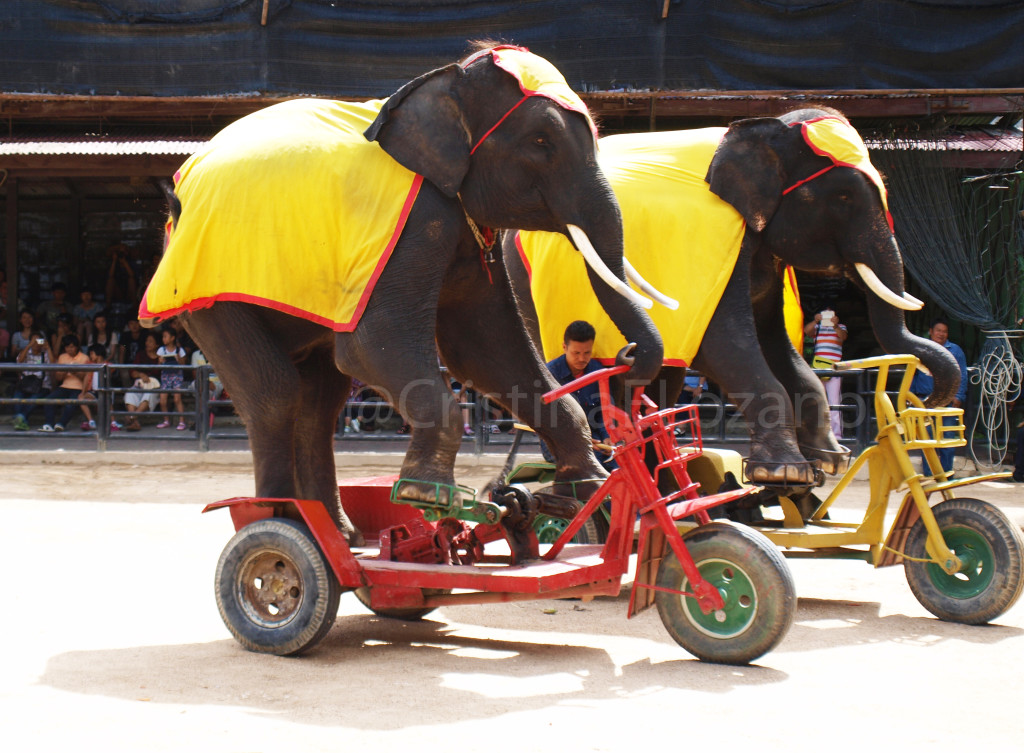 Elefantes montando en bici. Espectáculo cerca de Pattaya (Tailandia)