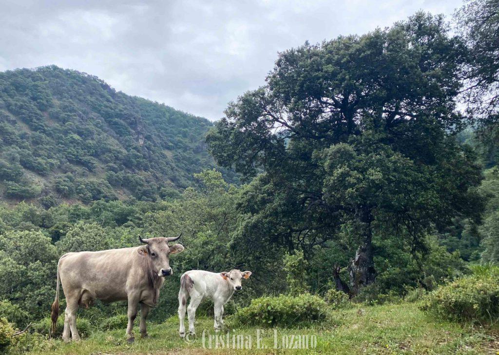 vacas libres